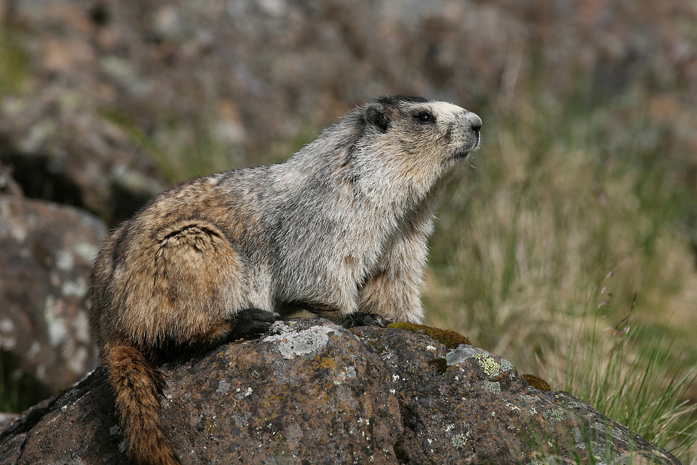 Hoary Marmot, Marmota calligata, closeup, on rock, summer, tundra, shrill whistle when alarmed, inhabits rocky alpine slopes; hibernates in winter, Denali National Park, Alaska, ©Craig Brandt, all rights reserved; brandt@mtaonline.net