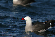 Heermann's gull (Larus heermanni) swims near Isla Rasa where 80% of world population nests annually; Sea of Cortez, Baja, Mexico