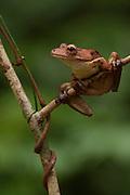 Tree Frog (Hypsiboas boans) <br /> Rain Forest<br /> Iwokrama Reserve<br /> GUYANA<br /> South America<br /> formally Hyla boans