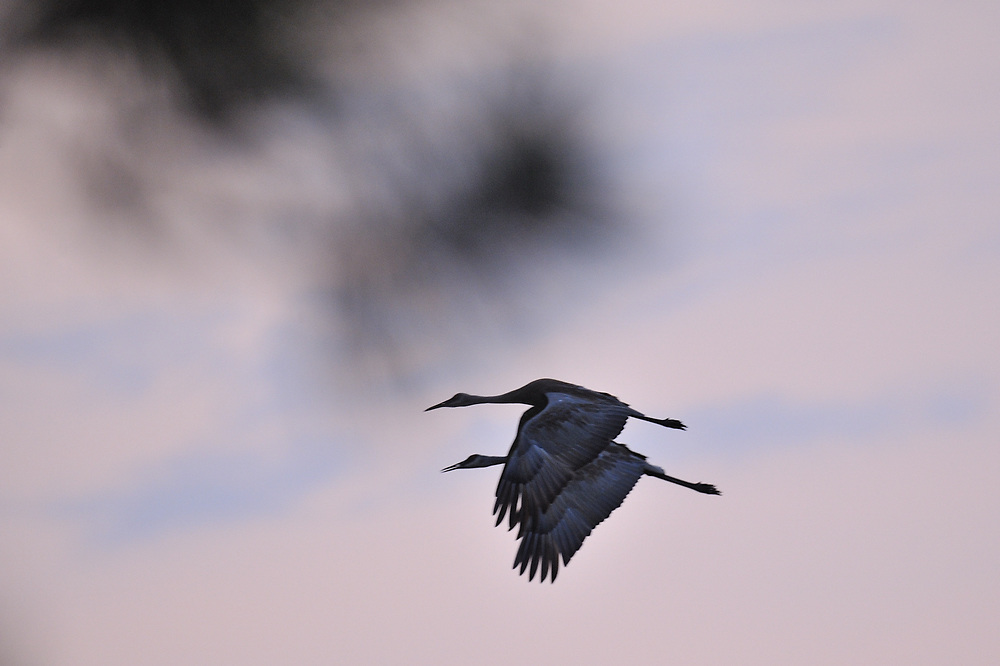 Sandhill cranes at dusk in Canada.