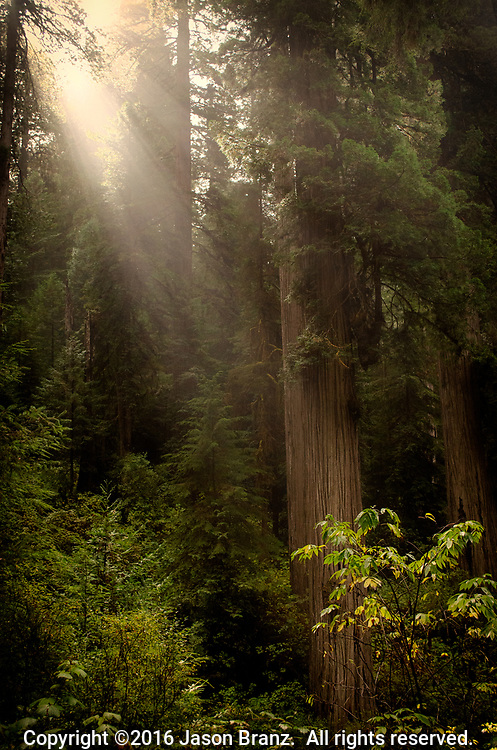Sun rays shining through fog into a redwood grove, Jedediah Smith State Park, Del Norte County, California.