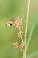 Acraea butterfly on grass stem. Vernon Crookes Nature Reserve. Southern KwaZulu Natal. South Africa