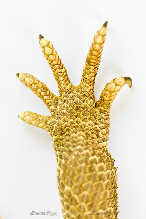 Central Bearded Dragon (Pogona vitticeps), also known as the Inland Bearded Dragon hand and claw detail.