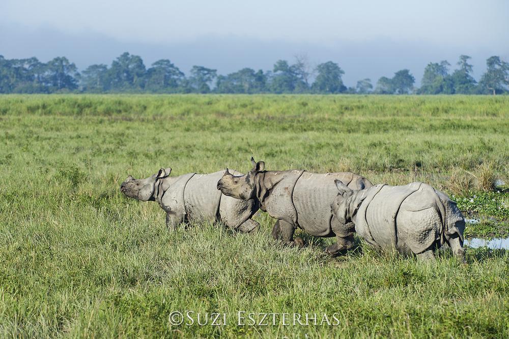 Indian rhinoceros  <br /> Rhinoceros unicornis<br /> Male trying to court female with calf<br /> Kaziranga National Park, India