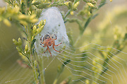 Lattice Orb Weaver; Araneus thaddeus; web and retreat with spider inside; PA, Philadelphia; Morris Arboretum