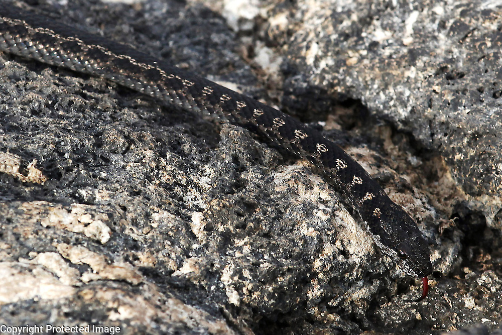 A Galapagos land snake, is well-camouflaged against a rock on Fernandina Island in the Galapagos.