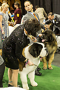 New York, NY - 16 February 2016. A woman and a St. Bernard wait to enter the ring  at the 140th Westminster Kennel Club Dog show in Madison Square Garden.