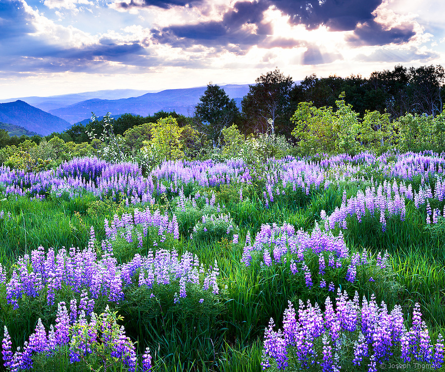 A Lupine Meadow in full spring glory is backlit by a dramatic Colorado sunset