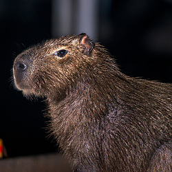 """Capivara (Hydrochoerus hydrochaeris) fotografado em Corumbá, Mato Grosso do Sul. Bioma Pantanal. Registro feito em 2017.<br /> <br /> <br /> <br /> ENGLISH: Capybara photographed in Corumbá, Mato Grosso do Sul. Pantanal Biome. Picture made in 2017."""