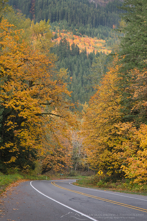 Big leaf maples dsiplaying fall color along Mount Baker Highway, State Route 542 Washington