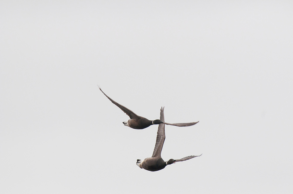 Black Brant (Branta bernicla) flying over tundra pond on the Arctic Coast near Barrow, AK