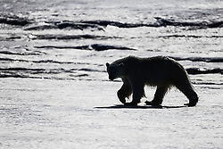 A silhouette of a polar bear (Ursus maritimus) walking on the ice ,Svalbard, Norway