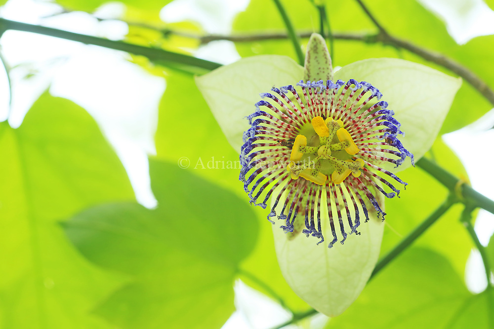 Passion flower (Passiflora platyloba). Tropical dry forest, Santa Rosa National Park, Costa Rica.