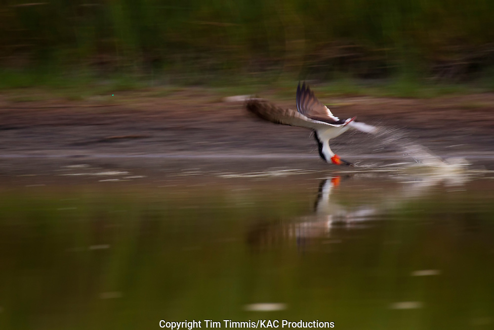 Black Skimmer, Rynchops niger, Bryan Beach, Texas gulf coast, skimming, lowered head, blurred with reflection