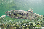 chum salmon, dog salmon, silverbrite salmon, or keta salmon, Oncorhynchus keta, in spawning stream, with body already starting to decompose in preparation for death after spawning; Bear Trap, Port Gravina, Alaska ( Prince William Sound )