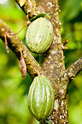 "Apr 23 - BALI, INDONESIA -  Cocoa growing in a tree in Bali. The cocoa ""bean"" is actually inside the pod. Photo by Jack Kurtz/ZUMA Press"