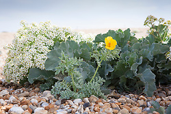 Yellow horned poppy growing next to Sea Kale on the beach at Dungeness. Glaucium flavum and Crambe maritima