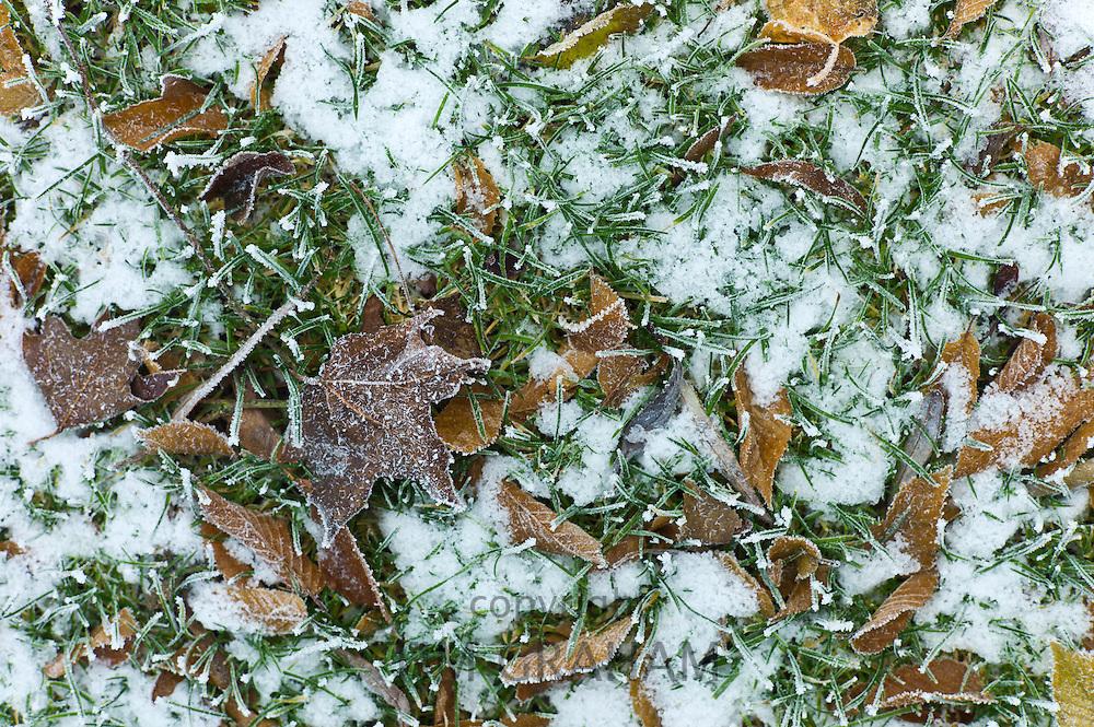 Winter scene hoar frost on fallen hornbeam leaves in The Cotswolds, UK