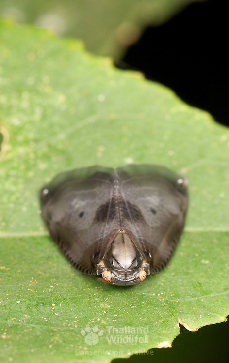 Planthopper (Ricaniidae). The family Ricaniidae is a group of hemipteran insects, containing over 40 genera and 400 species world-wide. Thus, they are one of the smaller families in the planthopper superfamily (Fulgoroidea).