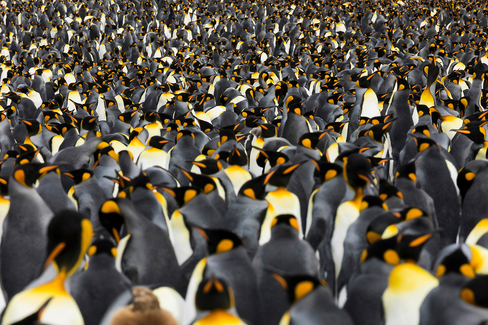 King penguin colony on Thursday, Feb. 1, 2018 in Gold Harbor, South Georgia. (Photo by Ric Tapia)