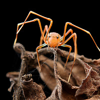 Crab spiders of the genus Amyciaea are excellent mimics of Weaver Ants (Oecophylla), their preferred prey. In this manner they are able to both avoid predators and easily approach within striking distance of the ants. North Maluku, Indonesia.