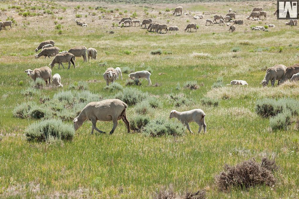 Smith Sheep Ranch, Douglas, WY