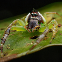 A Giant Green Jumping Spider (Mopsus mormon) from the tropical forests of Waigeo Island. With its bright green legs and distinctive hairstyle, this species (the only in its genus) is easily recognizable among the many hundreds of jumping spiders (family Salticidae) in New Guinea. An enormous pair of frontal eyes give this little predator excellent vision to locate and size-up potential prey, and six flanking eyes allow it to detect movement in virtually every direction. West Papua, Indonesia.