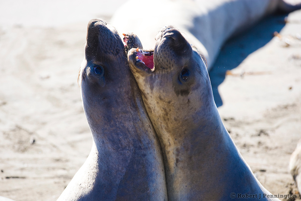 Two juvenile elephant seals on the beach along the Central Coast of California.