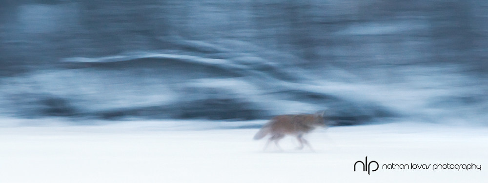 Coyote walking across frozen lake under moonlight; Minnesota, in wild.