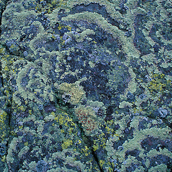 Mt. Madison.Target Lichen,  arctoparmelia centrifuga. Alpine zone.  White Mountain N.F. June.