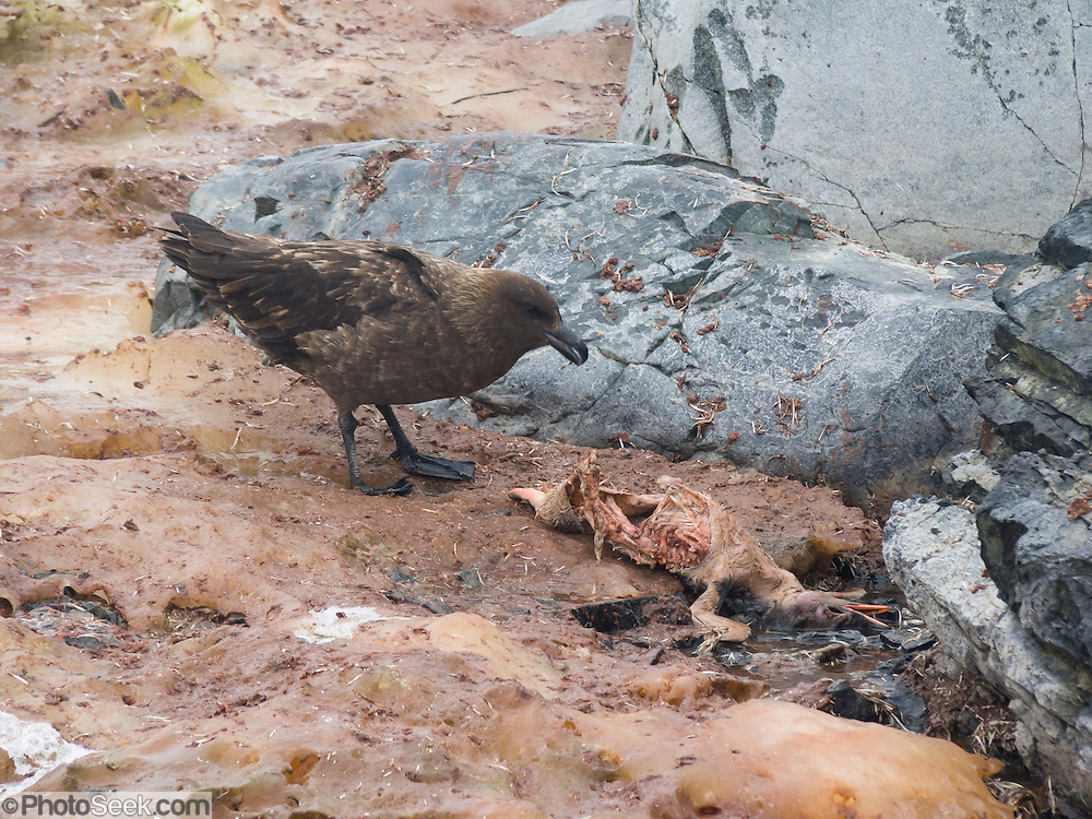 """A skua bird (genus: Stercorarius, family: Stercorariidae) feeds on a dead Gentoo Penguin chick (Pygoscelis papua) on Cuverville Island, Antarctica. Witness """"survival of the fittest"""" every day in Antarctica."""