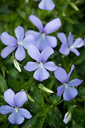Viola 'Belmont Blue' syn. Viola Boughton Blue