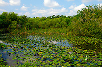 View of Water lilies in Shark Valley Visitor Center, Everglades National Park, Florida, USA