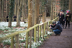 © Licensed to London News Pictures. 11/02/2018. Welford, UK. A man takes a photograph of a carpet of snowdrops in the woods at Welford Park near Newbury. Welford Park, where The Great British Bake Off is filmed every summer, is only open for visitors for five weeks in the year - until March 5th. Photo credit: Ben Cawthra/LNP