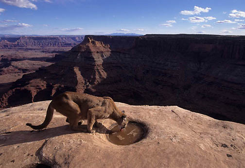 Mountain Lion or Cougar, (Felis concolor) Adult drinking from water hole. Moab, Utah. Red rock country. Captive Animal.