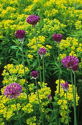 Allium hollandicum 'Purple Sensation'  with Euphorbia palustris