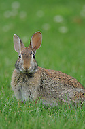 Eastern Cottontail Rabbit sitting in a grassy field looking towards the camera.