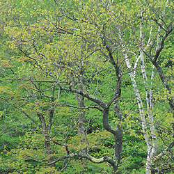 Albany, NH.Trees begin to leaf out in a northern hardwood forest in New Hampshire's White Mountains. Along Kancamagus Highway and the Swift River.
