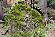 Moos und Baumwurzel auf Sandstein Fels, Herbst Wald bei Hinterhermsdorf, Sächsische Schweiz, Elbsandsteingebirge, Sachsen, Deutschland | tree and moss on sandstone rock, autumn forest near Hinterhermsdorf, Saxon Switzerland, Saxony, Germany