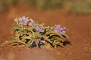Silverleaf Nightshade also Silver-leaved Nightshade (Solanum elaeagnifolium) an invasive weed originally from North America. Photographed in Israel in July