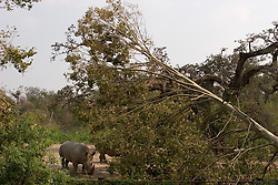 03 September 2005. New Orleans, Louisiana.  Post Hurricane Katrina.<br /> Fallen trees at the Rhino enclosure at the zoo.<br /> Photo Credit ©: Charlie Varley/varleypix.com