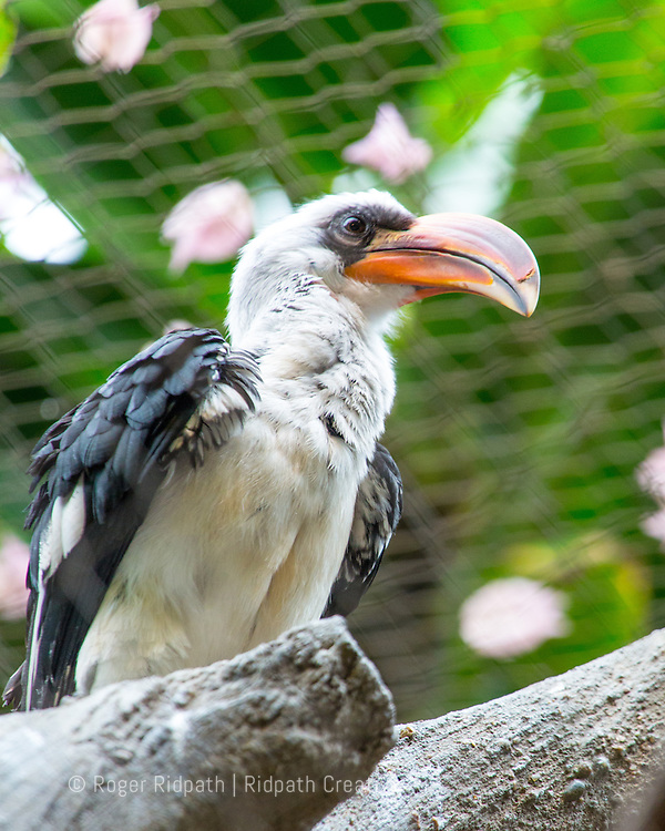 Black and white bird with large curved orange beak perched on leafy green background at Kansas City Zoo