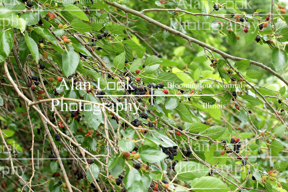 Mulberry tree and berries<br /> Finfrock State Natural Habitat Area (Illinois)