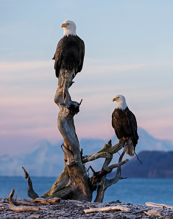 Alaska. Bald Eagles (Haliaeetus leucocephalus) resting on driftwood with sunset over Mt. Iliamna in the background, Kachemak Bay.