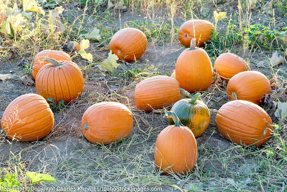 Natural organic pumpkins on an Idaho farm.