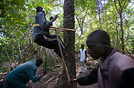 The villagers of Diagho harvest palm nuts in the forest for the artisinale production of palm oil, palm wine and palm oil based soaps. Palm oil products from Casamance are well known and are an important part of the local economy. During the dry season, the men harvest the fruit and the sap of wild palm trees and the women transform the palm nuts into local products. Palm oil production in Casamance remains traditional and has resisted the transformation to industrial scale plantations to satisfy the growing demand from the international food and bio fuel industries that have resulted in large scale deforestation in SE Asia and Latin America. Diagho, Senegal. 10/11/2014.