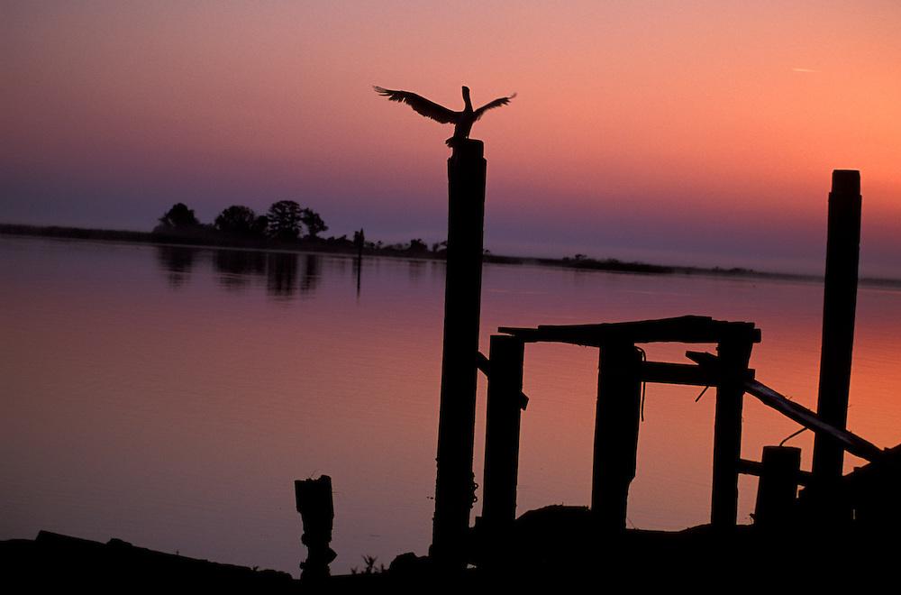 Pelican at sunrise, Apalachicola, Florida Panhandle, Florida, USA