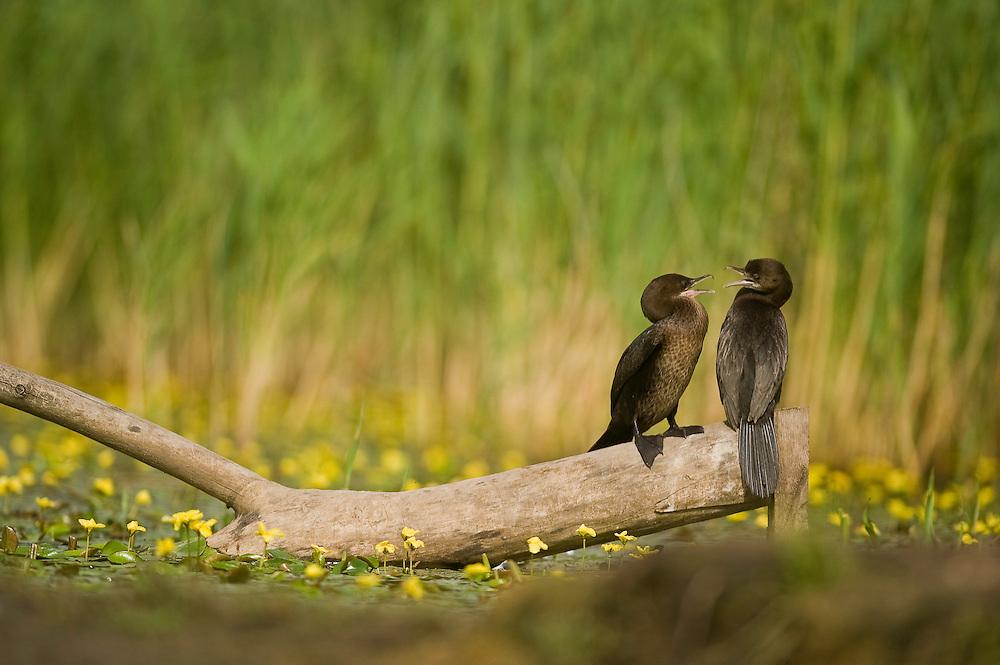 Two Pygmy Cormorant (Phalacrocorax pygmeus)  in Hortobagy National Park, Hungary