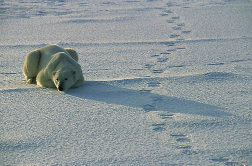 Polar Bear, (Ursus maritimus) Adult resting near tracks of another bear that passed earlier. Churchill, Manitoba. Canada.