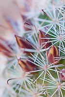 Fishhook Cactus.(Mammillaria microcarpa)  flowers, Sonoran Desert, Anza-Borrego State Park